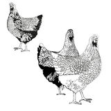 Vector drawing of a hens. Use printed materials, signs, items, websites, maps, posters, postcards, packaging Stock Photo