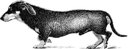 Sketch of a walking dachshund Stock Photos