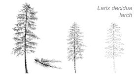 Vector drawing of larch (Betula pubescens) Royalty Free Stock Photos