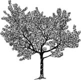 Vector Drawing Of A Flowering Cherry Tree Stock Photos