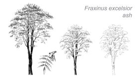 Free Vector Drawing Of Ash (Fraxinus Excelsior) Royalty Free Stock Photos - 65635048