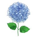 Vector drawing of outline Hydrangea or Hortensia flower bunch in pastel blue and ornate green leaves isolated on white background. Contour ornamental garden royalty free illustration