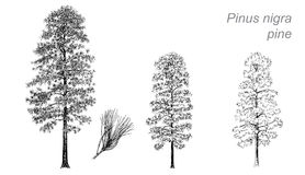 Vector drawing of pine (Pinus nigra) Stock Image