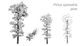 Vector drawing of pine (Pinus sylvestris) Stock Photo