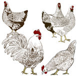 Vector drawing of a rooster and a hens. Use printed materials, signs, items, websites, maps, posters, postcards, packaging Royalty Free Stock Images