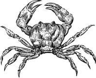 Crab. Vector drawing of a sea crab stock illustration