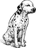 Dalmatian. Vector drawing of a sitting dalmatian vector illustration
