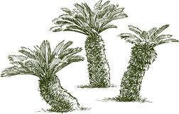 Sketches of the small palm trees. Vector drawing of the smal garden palms trees Stock Images