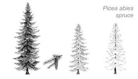 Vector drawing of spruce (Picea abies) Royalty Free Stock Photo