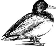 Drake. Vector drawing of a standing duck vector illustration