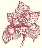 Vector drawing. Strawberry bush with flowers and berries Royalty Free Stock Photography