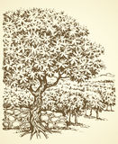 Vector drawing. Tree in Vineyard Royalty Free Stock Images