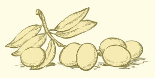 Vector drawing. Twig with olives and leaves Royalty Free Stock Photos