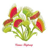 Vector drawing of Venus Flytrap or Dionaea muscipula with open and close trap in red and green isolated on white background. vector illustration