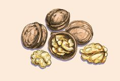 Vector drawing of a walnuts Stock Photo