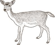 Sketch of a young deer Royalty Free Stock Photo