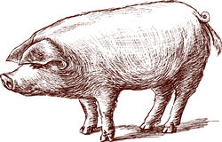 Pig. Vector drawing of a young pig