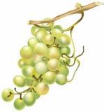 Vector druiven Stock Afbeelding