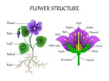 Vector education diagram of botany and biology, the structure of the flower in a section. Banner study scheme, illustration. Vector education diagram of botany stock illustration