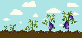 Vector eggplant Stock Images