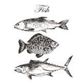 Vector el dibujo de bosquejo de los pescados - salmón, trucha, carpa, atún ejemplo dibujado mano del marisco Imagen de archivo libre de regalías