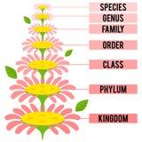 Vector el ejemplo con las filas taxonómicas importantes del reino de planta Foto de archivo