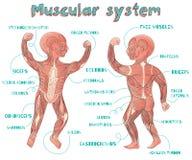 Vector el ejemplo de la historieta del sistema muscular humano para los niños Fotografía de archivo libre de regalías
