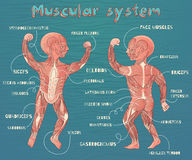 Vector el ejemplo de la historieta del sistema muscular humano para los niños Foto de archivo libre de regalías