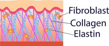 Vector el ejemplo de las células de la estructura con el colágeno, la elastina y el fibroblasto ilustración del vector