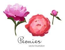 Vector el ejemplo de las flores coloridas de las peonías en el fondo blanco Imagen de archivo libre de regalías