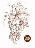 Vector el ejemplo de las uvas del grabado en la rama hecha a mano Imagen de archivo libre de regalías