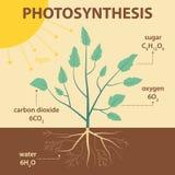 Vector el ejemplo esquemático que muestra la fotosíntesis de la planta - infographic agrícola Fotografía de archivo