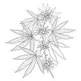 Vector el manojo de cáñamo del esquema sativa o cáñamo indica o marijuana Rama, hojas y semilla aisladas en el fondo blanco ilustración del vector
