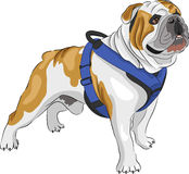 Vector  English Bulldog Stock Photography
