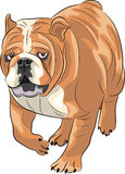 Vector. English bulldog. Stock Photos