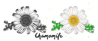 Hand drawn sketch of chamomile flower in monochrome and colorful. Detailed vegetarian food drawing. royalty free illustration