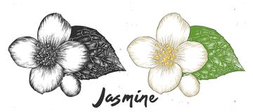 Hand drawn sketch of jasmine flower in monochrome and colorful. Detailed vegetarian food drawing. vector illustration