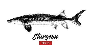 Hand drawn sketch of sturgeon fish in black isolated on white background. Detailed vintage etching style drawing. vector illustration