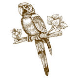 Vector engraving big blue parrot on a branch. On white background Royalty Free Stock Photography