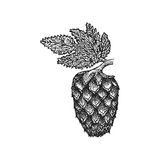 Vector engraving hops cone illustration Stock Images