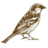 Engraving drawing illustration of sparrow. Vector engraving illustration of  hand drawn sparrow isolated on white background Stock Photos