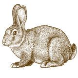 Vector engraving rabbit on white background Royalty Free Stock Photography