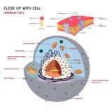 Vector eucariótico de la célula de la célula animal Fotografía de archivo