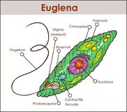 Vector Euglena Cross Section Diagram representative protists eug. Lenoid plant like and animal like microscopic creature with all cell parts nucleus flagellum Royalty Free Stock Photo