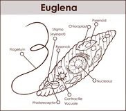 Vector Euglena Cross Section Diagram representative protists eug. Lenoid plant like and animal like microscopic creature with all cell parts nucleus flagellum Stock Images