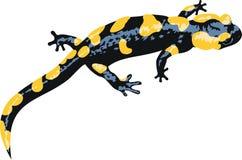 Vector Europaean fire salamander. Salamandra salamandra Stock Photo