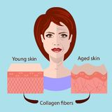 Vector face and two types of skin - aged and young   Stock Photo