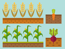 Vector farm harvesting field agriculture horticulture healthy natural land vegetarian vegetable illustration. Vector farm harvesting field agriculture and vector illustration