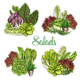 Vector farm salads or leafy lettuce vegetables Royalty Free Stock Photo