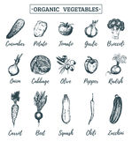 Vector farm vegetables sketches set. Organic eco products illustration. Hand drawn greens icons for tags, cards etc. Royalty Free Stock Images